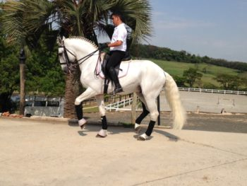 GP lusitano Stallion